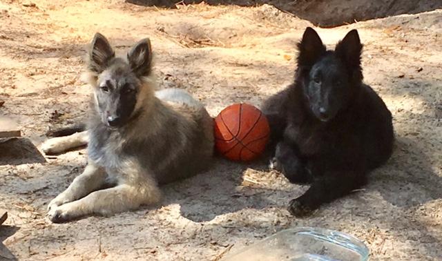 tervuren puppies